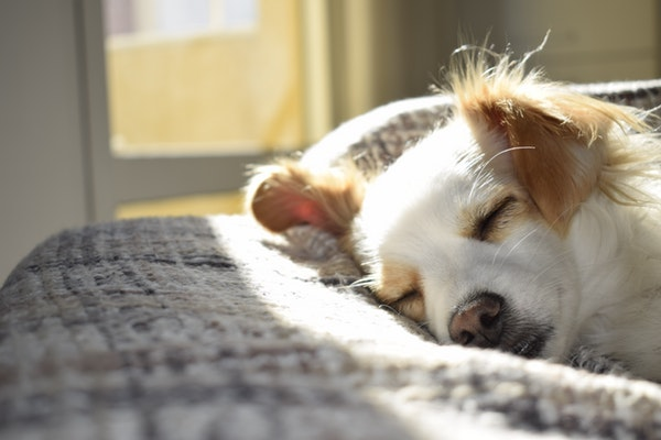 Small dog sleeping on a blanket in the sunshine