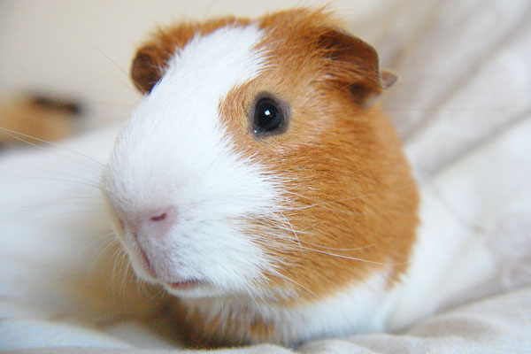 Ginger and white guinea pig